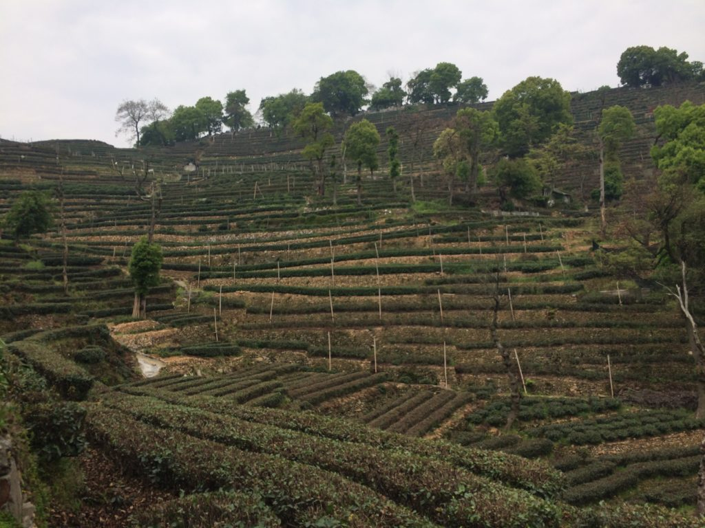 Long Jing tea garden hilss.