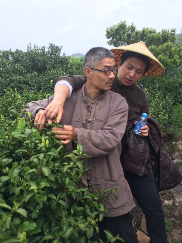 Picking Bi Luo Chun tea leaves.