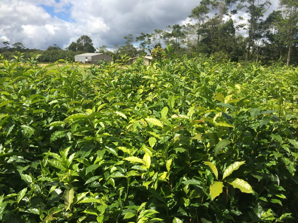 Tea bushes at Nerada Tea plantation in Australia.
