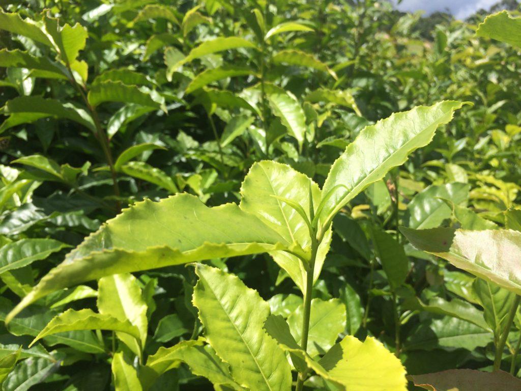 New tea shoot at Nerada tea plantation.