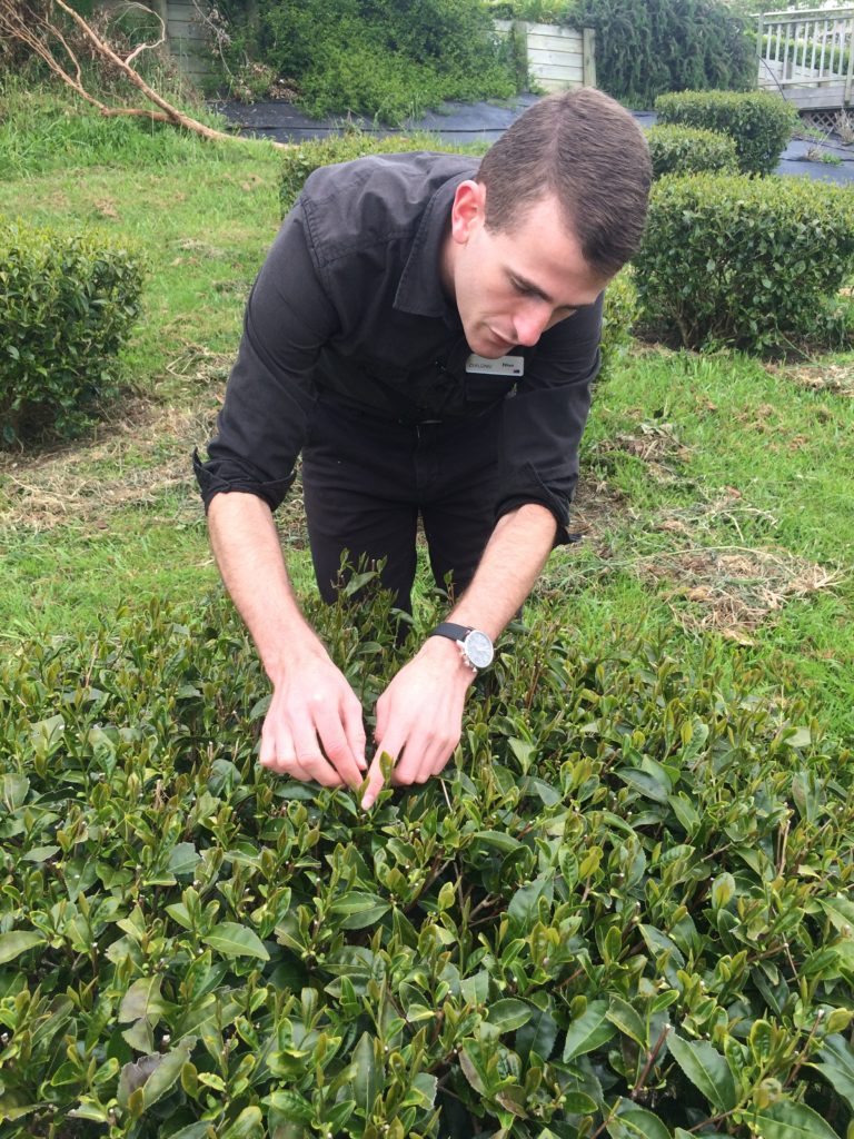 Picking leaves in Zealong tea plantation.