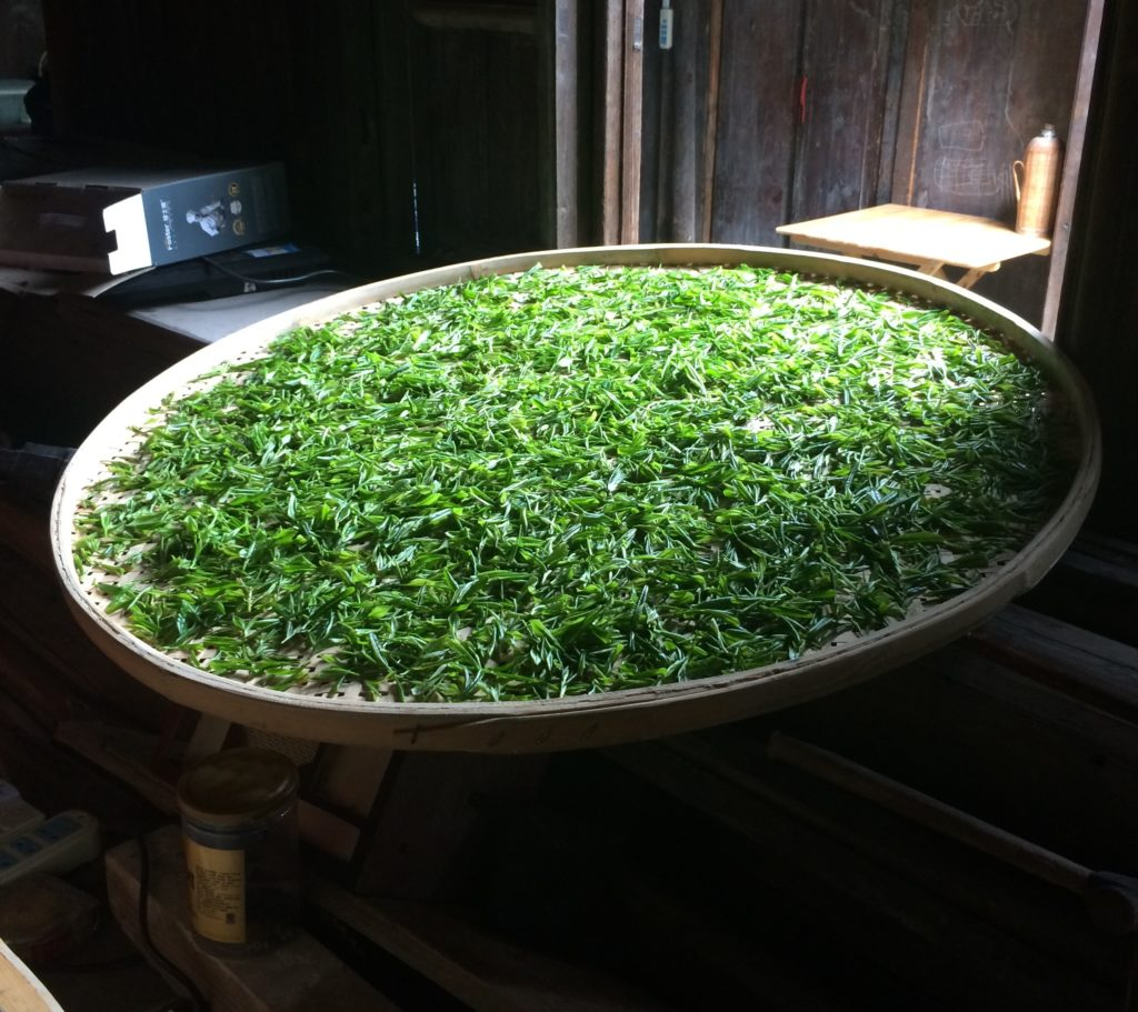 Withering of Bi Luo Chun tea leafs.